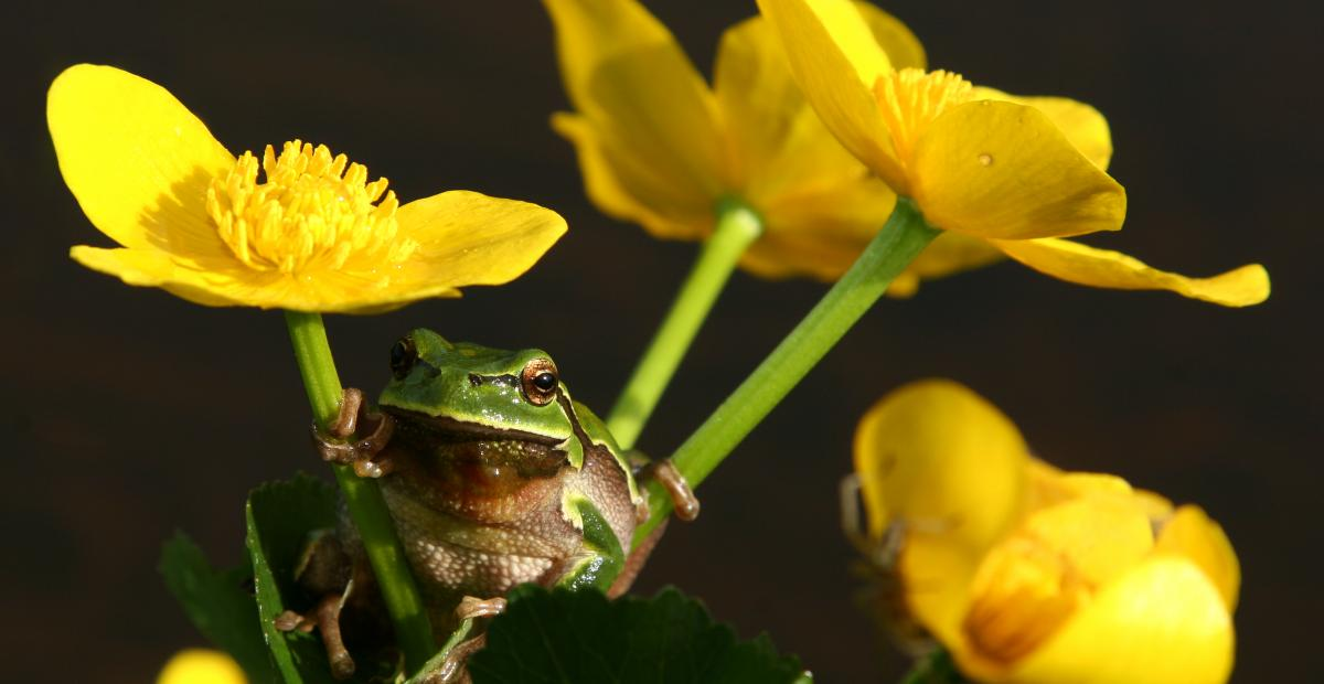 Green frog photo D.Tome source MOL