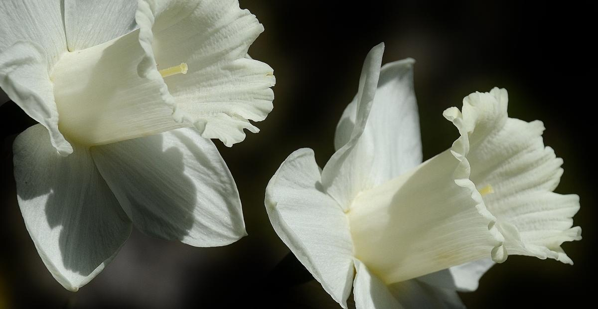 daffodil flower easter lily spring 53440 2