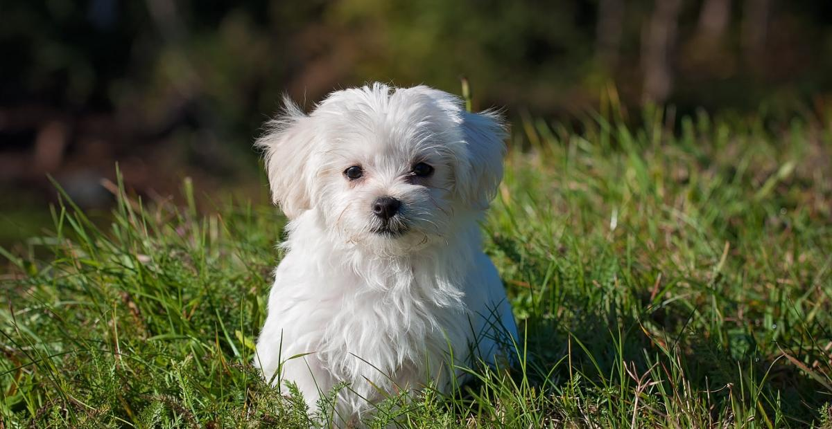 dog young dog small dog maltese